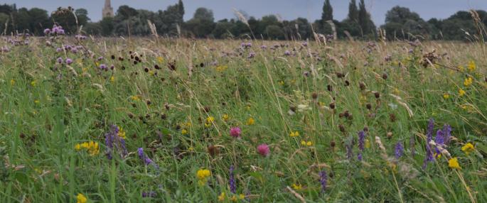 The wild flowers of Portholme Meadow, Godmanchester
